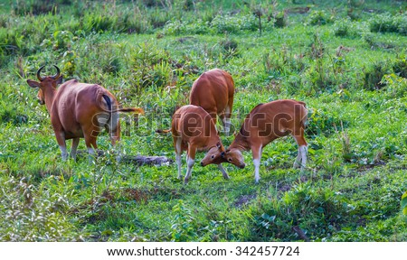 Young Banteng (Bos javanicus) playing each other in real nature in wildlife sanctuary in Thailand