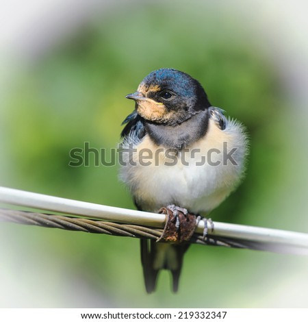 Young barn swallow resting on wire, Russia