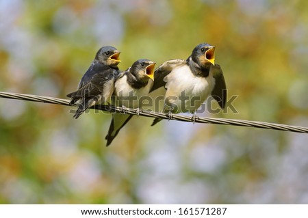 Young barn swallows on a wire, begging for food