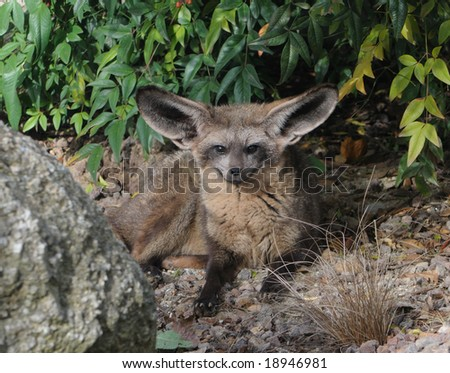 Young Bat-eared Fox staring straight into the camera.