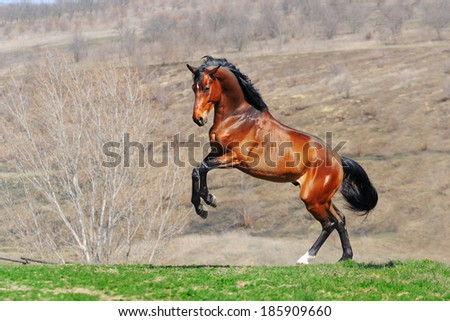 Young bay horse playing in the spring field - stock photo