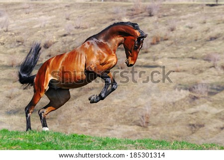 Young bay horse rearing in the spring field - stock photo