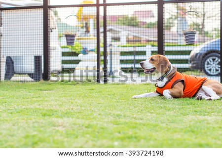 Young beagle dog lay on the ground floor - stock photo