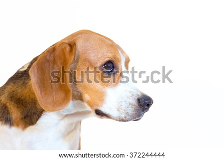 Young beagle dog studio portrait side view