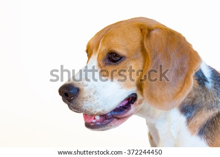 Young beagle dog studio portrait side view - stock photo
