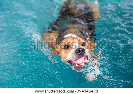 Young beagle dog swimming in the pool - stock photo
