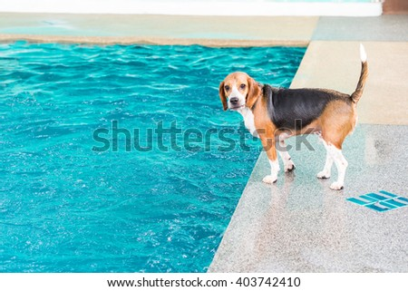 Young beagle dog waiting for toy at the rim of swimming pool - stock photo