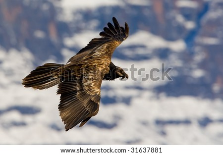 young beared vulture with snow - stock photo