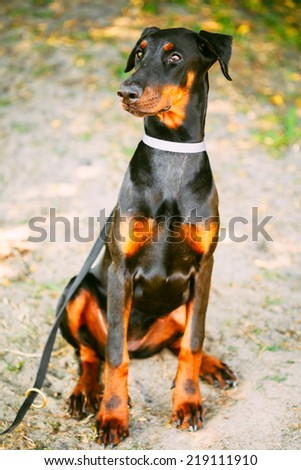 Young, Beautiful, Black And Tan Doberman. Dobermann Is Breed Known For Being Intelligent, Alert, And Loyal Companion Dogs - stock photo