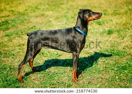 Young, Beautiful, Black And Tan Doberman Standing On The Lawn.  - stock photo