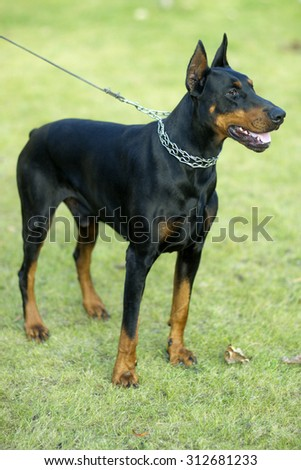 Young beautiful pedigree glossy black and brown haired friendly faithful doberman dog in collar on lead looking away standing on fresh green grass outdoor on natural background, vertical picture