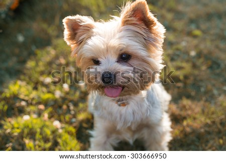 Young beautiful Yorkshire Terrier Dog sitting on the green grass - stock photo