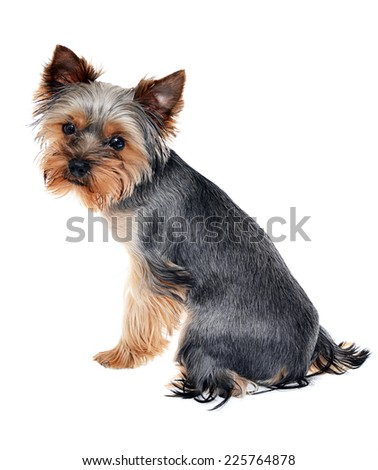 Young Beautiful Yorkshire Terrier Isolated on White Background, focus on dog's back - stock photo