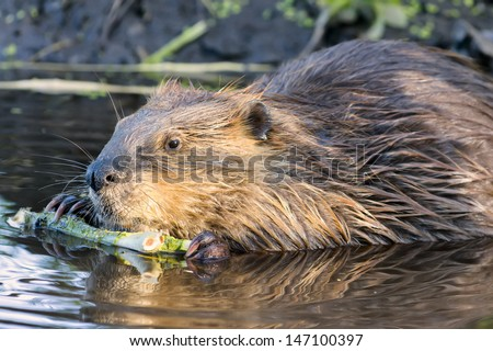 Young beaver stripping bark from a tree branch in Grand Teton National Park, WY