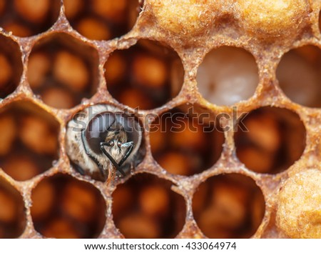 young bee in the comb - stock photo