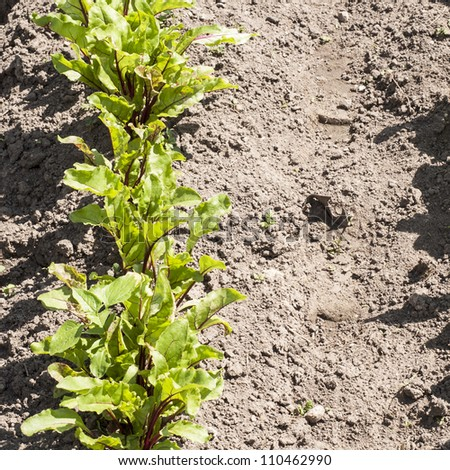 young beetroots - stock photo