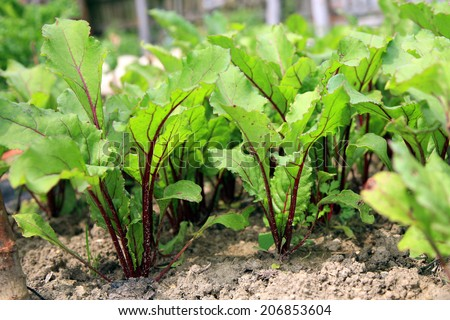 Young beetroots in vegetable intercropping cultivation. Eco-friendly backyard garden, vegetable garden. - stock photo