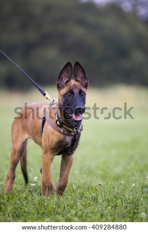 young Belgian shepherd on the grass - stock photo