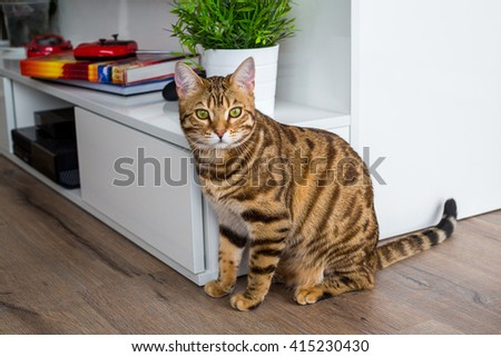 Young bengal cat hunting for toys in the apartment. Gorgeous cat with green eyes. - stock photo