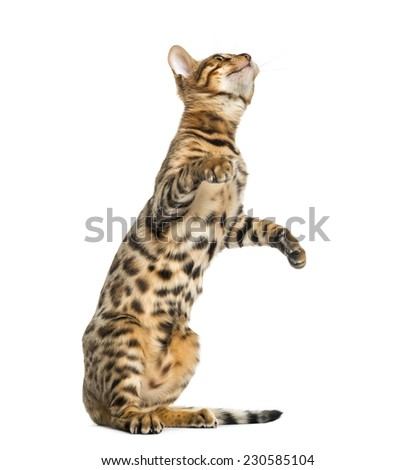 Young Bengal cat on hind legs and pawing (5 months old), isolated on white