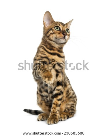 Young Bengal cat sitting (5 months old), isolated on white  - stock photo