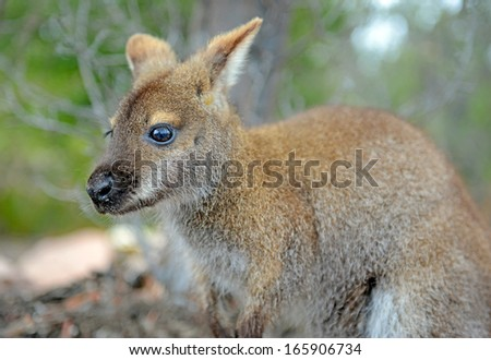 Young Bennett's Wallaby, Tasmania, Australia - stock photo