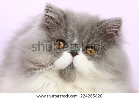 Young bicolor persian cat in front of a white background