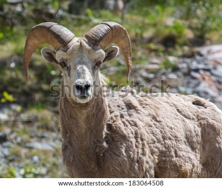 Young bighorn sheep near mountain slope - stock photo