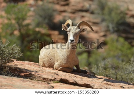 Young bighorn sheep rests at Zion National Park in Utah. - stock photo