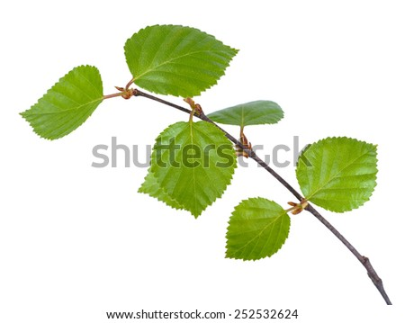 Young birch branches - stock photo