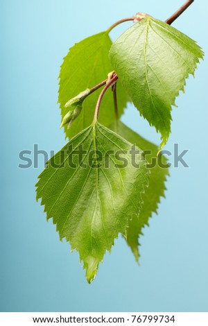 Young birch green leaf over light blue background. Macro. Closeup. Copy-space. - stock photo