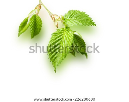 young birch leaves isolated - stock photo