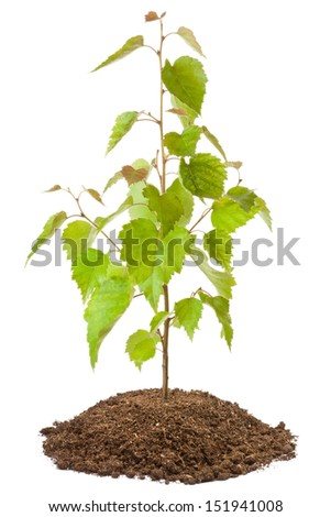 Young birch sapling. Isolated on a white. - stock photo
