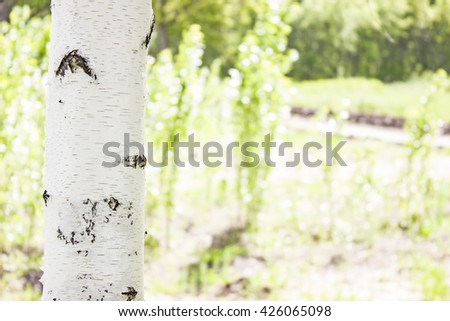 Young birch tree on the background of meadows  - stock photo