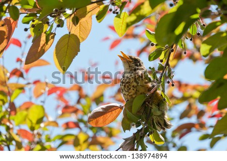 Young bird ( an american robin) on a tree at spring. - stock photo