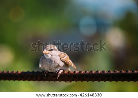 Young Bird Nestling House Sparrow Chick Baby Yellow-Beaked Passer Domesticus Sitting On Fence - stock photo