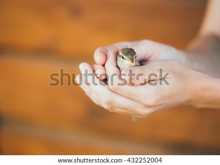 Young Bird Nestling House Sparrow - Passer Domesticus - Chick Baby Yellow-beaked In Female Hands On Brown Wooden Background - stock photo