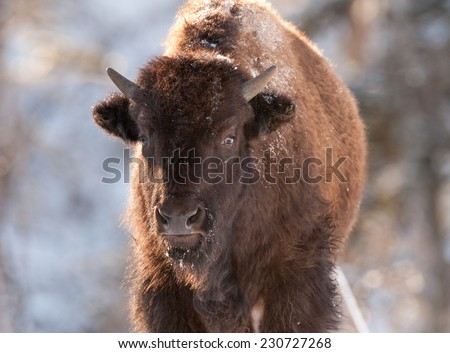 Young bison facing photographer with breath showing due to cold temperature, Yellowstone National Park in winter - stock photo