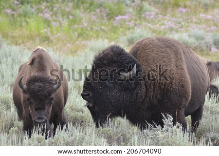 Young Bison in Love - stock photo