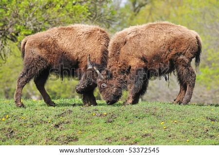 Young Bison Sparring in the Spring - stock photo