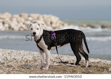 Young black and white�  American Staffordshire Terrier at the sea