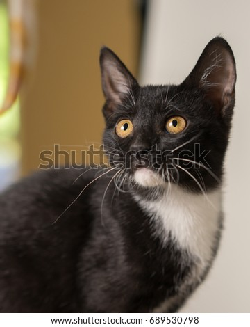 Young black and white domestic short medium hair kitten cat feline with yellow eyes looking watching waiting focused ready