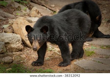young black bear - stock photo