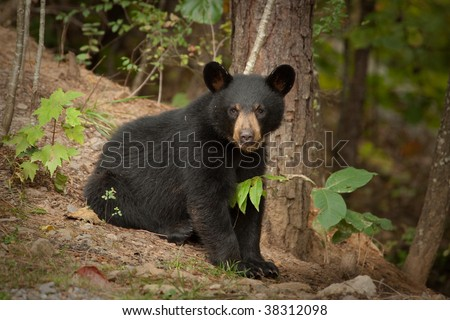 young black bear - stock photo