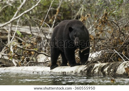 Young Black Bear searches for spawned out salmon along the Nitinat River on Vancouver Island in British Columbia.