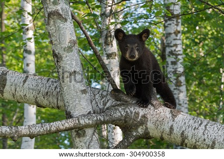 Young Black Bear (Ursus americanus) Looks Out from Tree Branch - captive animal