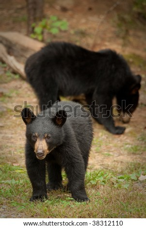 young black bear with mother in the background - stock photo