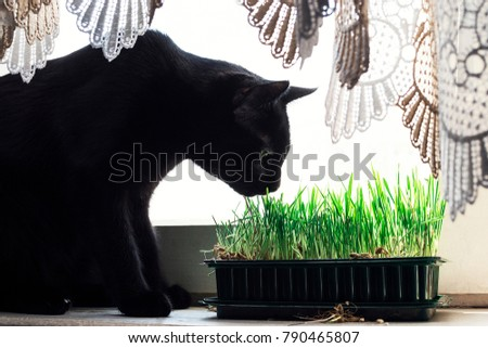 Young, black cat, sniffing the grass