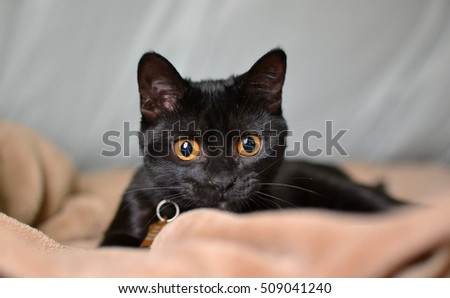 young black cat staring on blanket