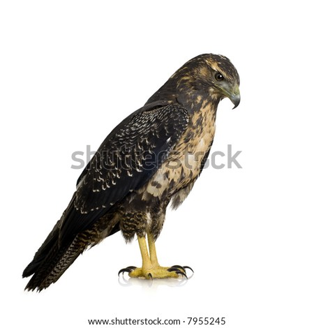 Young Black-chested Buzzard-eagle () - Geranoaetus melanoleucus in front of a white background